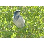 Florida Scrub-Jay. Photo by Rick Taylor. Copyright Borderland Tours. All rights reserved.