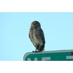 Burrowing Owl. Photo by Rick Taylor. Copyright Borderland Tours. All rights reserved.