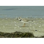 Piping Plover. Photo by Rick Taylor. Copyright Borderland Tours. All rights reserved.