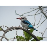 Woodland Kingfisher. Photo by Rick Taylor. Copyright Borderland Tours. All rights reserved.