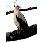 Palm-nut Vulture. Photo by Rick Taylor. Copyright Borderland Tours. All rights reserved.