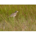 Water Thick-knee. Photo by Rick Taylor. Copyright Borderland Tours. All rights reserved.
