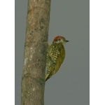 Gabon Woodpecker. Photo by Adam Riley. All rights reserved.