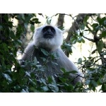 Hanuman Langur. Photo by Rick Taylor. Copyright Borderland Tours. All rights reserved.