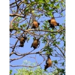 Indian Flying Foxes. Photo by Rick Taylor. Copyright Borderland Tours. All rights reserved.