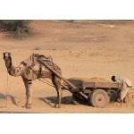 Camel Wagon. Photo by Rick Taylor. Copyright Borderland Tours. All rights reserved.