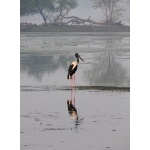 Black-necked Stork. Photo by Rick Taylor. Copyright Borderland Tours. All rights reserved.