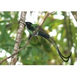 Black-billed Streamertail. Photo by Rick Taylor. Copyright Borderland Tours. All rights reserved.