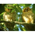 Jamaican Owls, fledging on left, parent on right. Photo by Rick Taylor. Copyright Borderland Tours. All rights reserved.