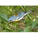 Northern Parula. Photo by Allan Sander. All rights reserved.