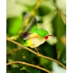 Jamaican Tody taking-off. Photo by Allan Sander. All rights reserved.