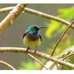 Souimanga Sunbird. Photo by Adam Riley. All rights reserved.