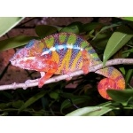 Panther Chameleon. Photo by Rick Taylor. Copyright Borderland Tours. All rights reserved.