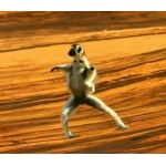 Dancing Sifaka. Photo by Adam Riley. All rights reserved.