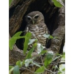 White-browed Owl. Photo by Marsha Steffen and Dave Semler. All rights reserved.