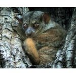 Small-toothed Sportive Lemur. Photo by Rick Taylor. Copyright Borderland Tours. All rights reserved.