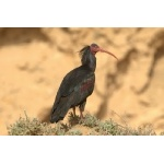 Northern Bald Ibis. Photo by Adam Riley. All rights reserved.