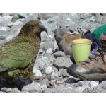 Kea Begging Lunch. Photo by David Semler & Marsha Steffen. All rights reserved.