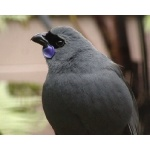 Kokako. Photo by David Semler & Marsha Steffen. All rights reserved.