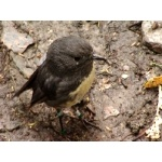 South Island Robin. Photo by David Semler & Marsha Steffen. All rights reserved.