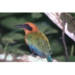 Rufous Motmot. Photo by Barry Ulman. All rights reserved