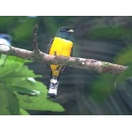 Black-throated Trogon. Photo by Barry Ulman. All rights reserved.