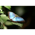 Blue Morpho. Photo by Barry Ulman. All rights reserved.