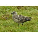 Great Skua, Shetland Islands. Photo by Rick Taylor. Copyright Borderland Tours. All rights reserved.
