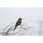 European Bee-eater. Photo by Alan Miller. All rights reserved.