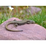 Iberian Wall Lizard. Photo by Alan Miller. All rights reserved.