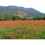 Poppy Field. Photo by Alan Miller. All rights reserved.