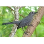 Gray Catbird. Photo by Rick Taylor. Copyright Borderland Tours. All rights reserved.