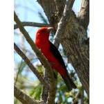 Scarlet Tanager. Photo by Rick Taylor. Copyright Borderland Tours. All rights reserved.
