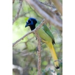 Green Jay. Photo by Mark Rosenstein. All rights reserved.