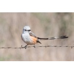 Scissor-tailed Flycatcher. Photo by Mark Rosenstein. All rights reserved.