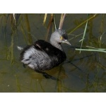 Least Grebe. Photo by Rick Taylor. Copyright Borderland Tours. All rights reserved.