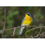 Tropical Parula. Photo by Rick Taylor. Copyright Borderland Tours. All rights reserved.