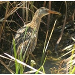 Clapper Rail. Photo by Rick Taylor. Copyright Borderland Tours. All rights reserved.