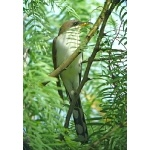 Yellow-billed Cuckoo. Photo by Rick Taylor. Copyright Borderland Tours. All rights reserved.
