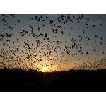 Mexican Free-tailed Bats, sundown, Río Frío Cave. Photo by Rick Taylor. Copyright Borderland Tours. All rights reserved.