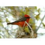 Vermilion Flycatcher is common in Rio Grande Village. Photo by Rick Taylor. Copyright Borderland Tours. All rights reserved.