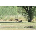 Coyotes at Rio Grande Village. Photo by Rick Taylor. Copyright Borderland Tours. All rights reserved.