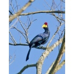 Ross's Turaco. Photo by Dave Semler and Marsha Steffen. All rights reserved.