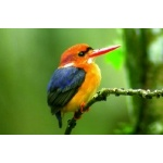 African Dwarf Kingfisher. Photo by Adam Riley. All rights reserved.