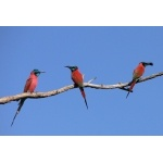 Northern Carmine Bee-eaters. Photo by Rick Taylor. Copyright Borderland Tours. All rights reserved.