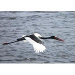Saddle-billed Stork. Photo by Rick Taylor. Copyright Borderland Tours. All rights reserved.