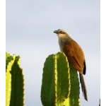 White-browed Coucal. Photo by Dave Semler and Marsha Steffen. All rights reserved.
