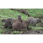 Banded Mongooses. Photo by Rick Taylor. All rights reserved.