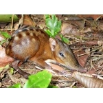 Checkered Elephant-Shrew. Photo by Adam Riley. All rights reserved.