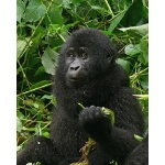 Young Mountain Gorilla. Photo by Rick Taylor. Copyright Borderland Tours. All rights reserved.